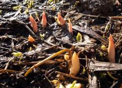 Пересадка пионов весной: нельзя, но очень надо...