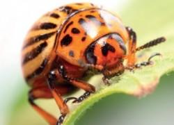 Круговая оборона (от колорадского жука)
