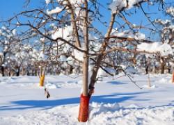 Как защитить ягодники от обморожения
