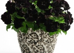 Петуния Чёрный бархат (Black Velvet)
