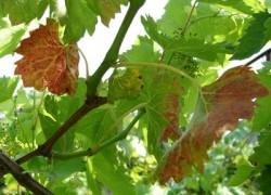 Почему краснеют листья винограда