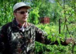 Нормирование урожая, чтобы спасти дерева. ВИДЕО