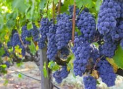 Скандально известный сорт винограда Изабелла