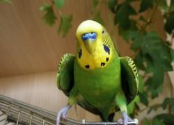 У попугая повисло крыло