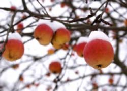 Зимостойкие сорта яблонь, груши и черешен