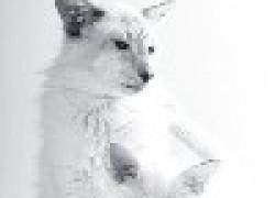 Кошки балинез: сиамцы с длинной шерстью