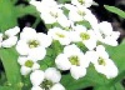 Почему не цветет алиссум