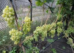Чем удобрить молодой виноградник