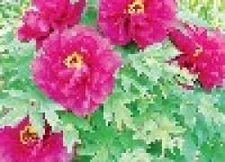 Древовидные пионы садовые аристократы