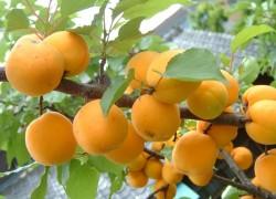 Повышение урожайности абрикоса
