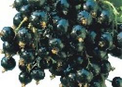 Изюмная и Бессемянная – уникальные сорта смородины