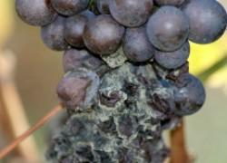 Как бороться с серой гнилью на винограде