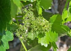 Что делать если осыпается завязь винограда