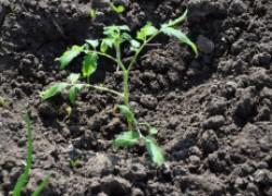 Как правильно посадить рассаду помидоров в грунт на юге. ВИДЕО