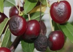 Две болезни вишни, которые нужно знать в лицо