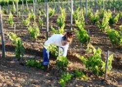 Минеральные подкормки винограда во вторую половину лета