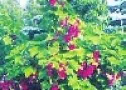 Ягодники деревом или стеной