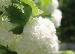 Бульденеж — снежный шар в вашем саду
