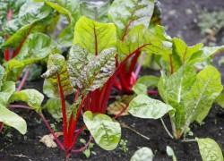 Уникальный способ выращивания свеклы через рассаду