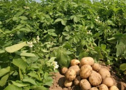 Картошка пораньше