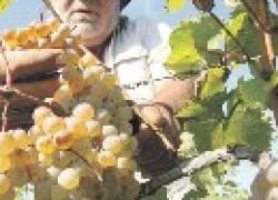 Ошибки виноградарей