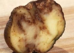 Картофель без парши