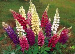 Люпин: цветок для начинающих