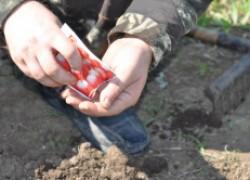 Секреты посадки семян редиски репы в грунт. ВИДЕО