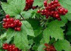 Калина – для лечебного сада