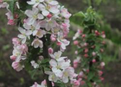Почему не цветут колоновидные яблони