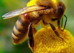Пчелиный укус: минимизируем последствия