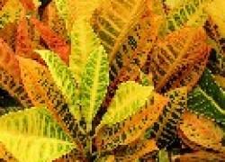Почему у кротона осыпается листва