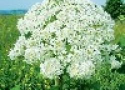 5 самых вредных для человека сорняков