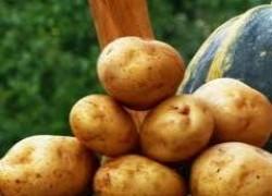 Как в Голландии выращивают семенной картофель