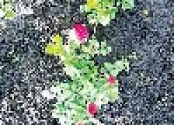 Как сажать розы осенью