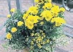 Как вырастить хризантему на балконе