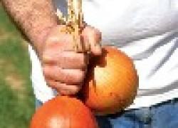 Как вырастить крупный лук
