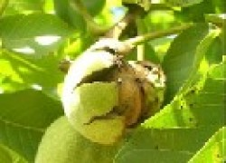 О прививке грецкого ореха