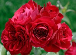 Чем накормить розу