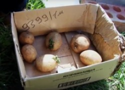Эксперимент продолжается. Посадка израильской картошки в грунт. ВИДЕО
