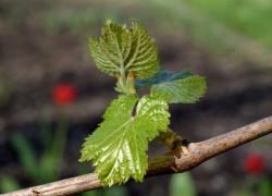 Сильные побеги винограда – хороший урожай