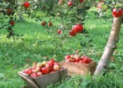 Почему падают яблоки