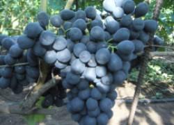 Снова зацвел виноград