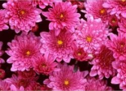 Съедобные хризантемы
