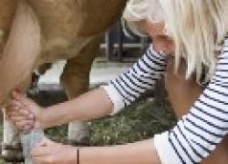 Корова дерется при дойке