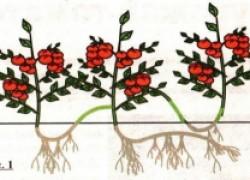 Урожай помидоров... по царски или сажаем лежа