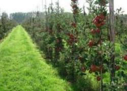 Сверхурожайные карликовые груши