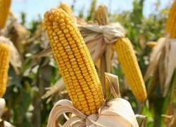 Валерий БРИЖАНЬ: Люблю кукурузу и умею ее выращивать