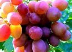 Виноград «красный король»