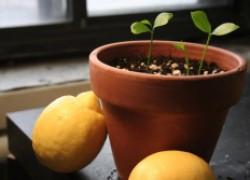 Почему сеянцы лимона перестали расти
